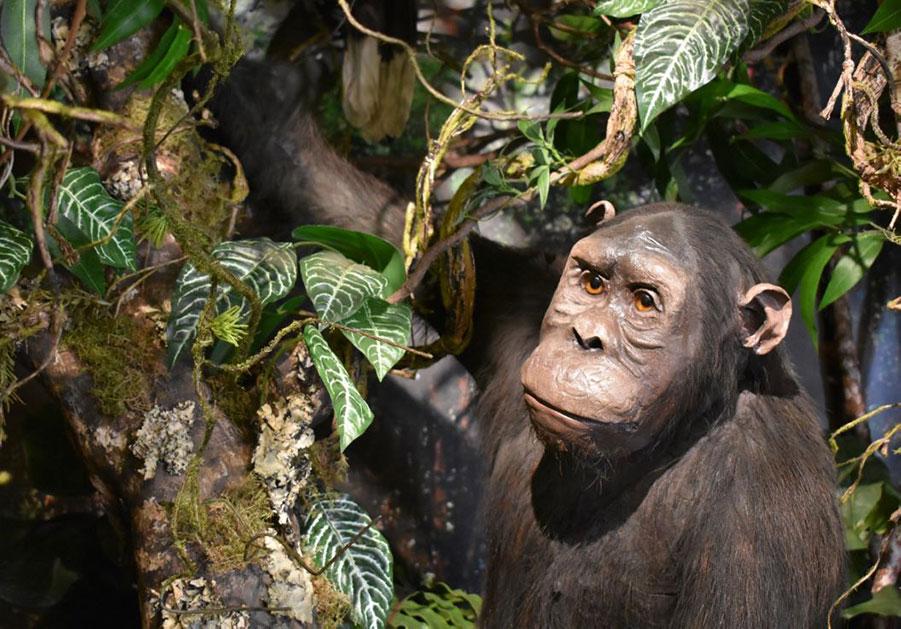 Primates Gallery - Natural History Museum of Pisa University