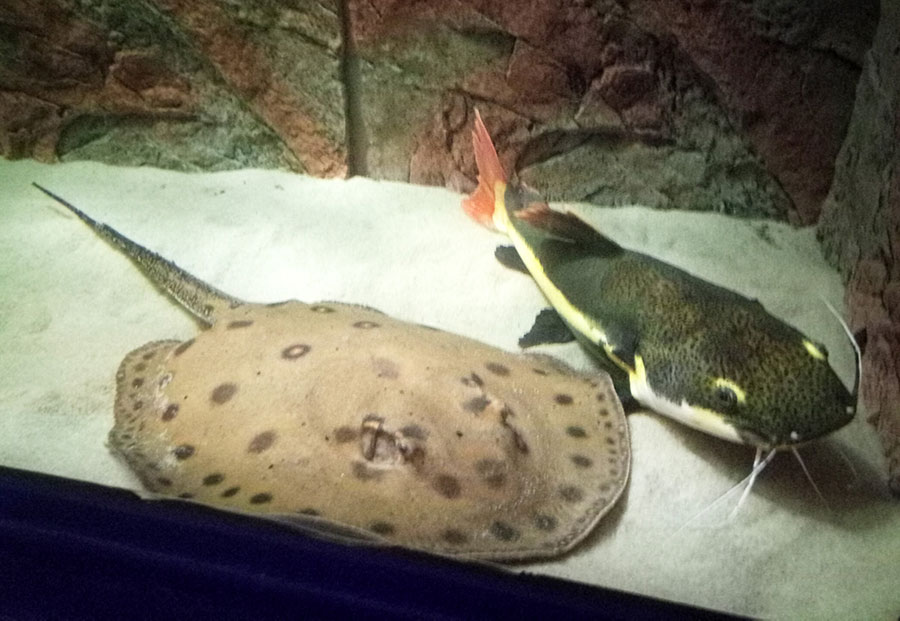 breed fish & catfish